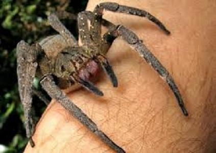 venomous spiders in britain