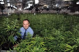 marijuana in wales