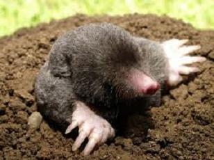 migrating moles