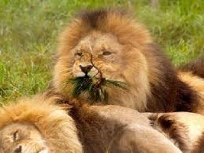 vegan lions
