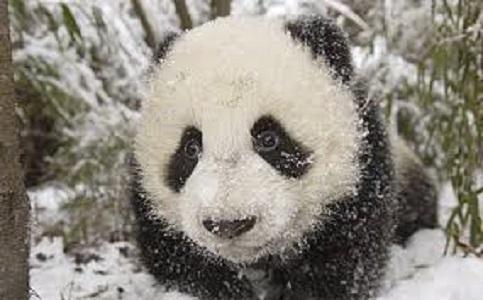 panda on the veranda