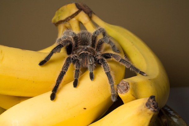 spiders in bananas